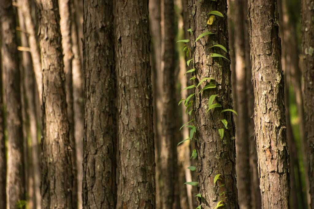 Forest wallpaper - Thin tree trunks - Entrance